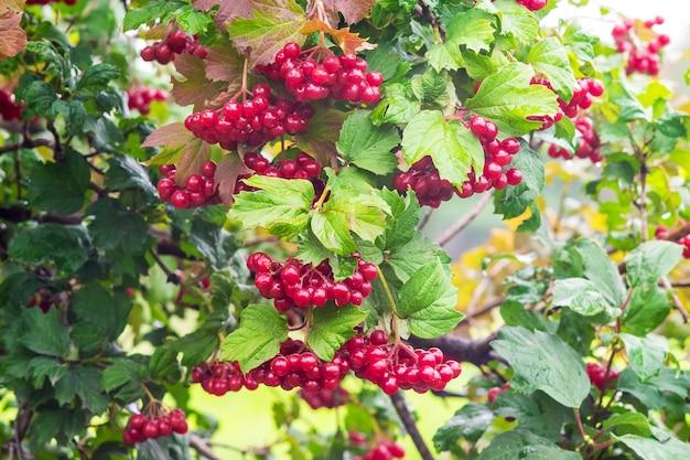 緑の葉の間の茂みにクラスター赤いゲラーダーローズ