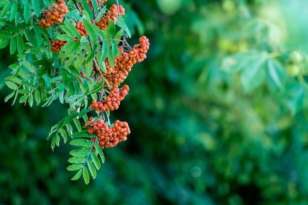 緑の葉の間の茂みに赤いナナカマドをクラスターします。