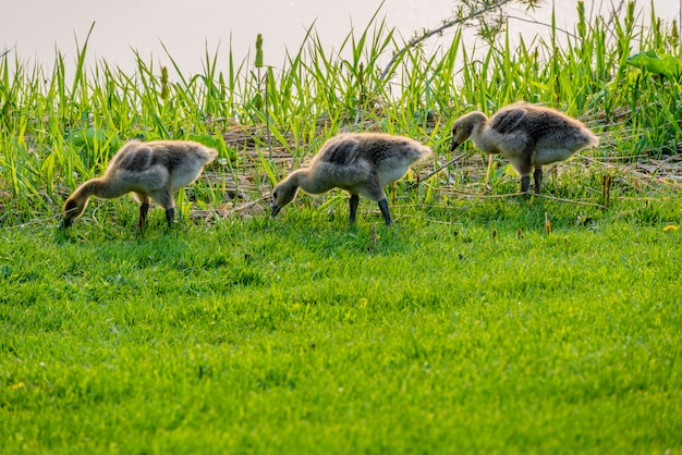 Clutch of three goslings foraging for food beside a creek