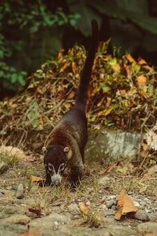 Coatã; animal wild life in costa rica.