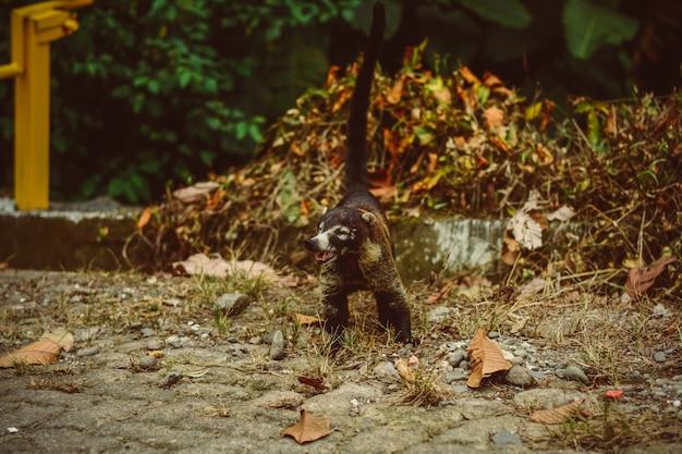 コートã;コスタリカの野生動物。