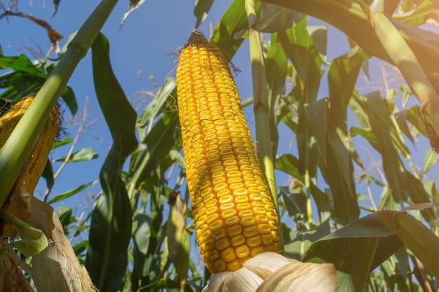 A cob of ripe corn in the field before harvesting
