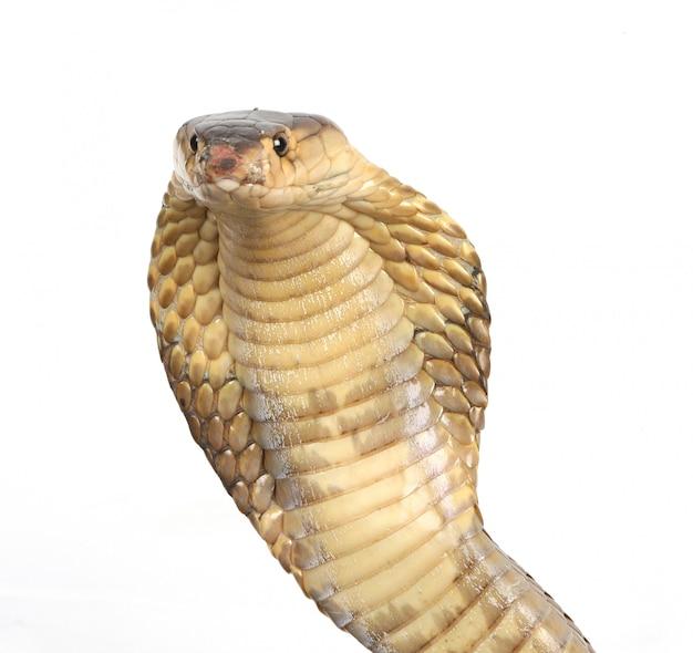 コブラの頭をクローズアップ