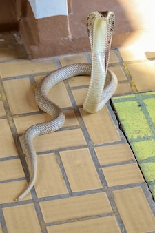 The cobra snake on cement floor at thailand