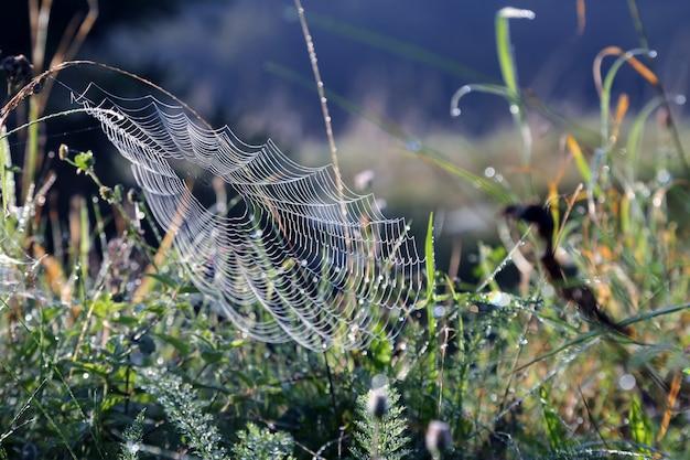 朝の蜘蛛の巣草