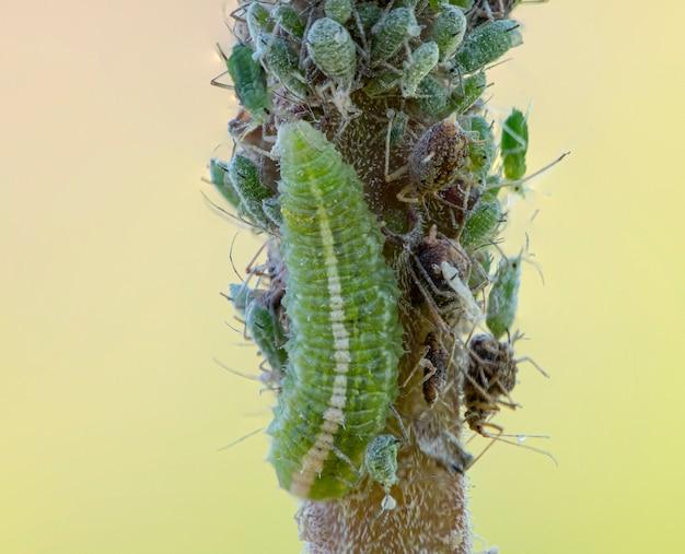 Coccinellidae, личинка, сидит на ветке и питается тлей.