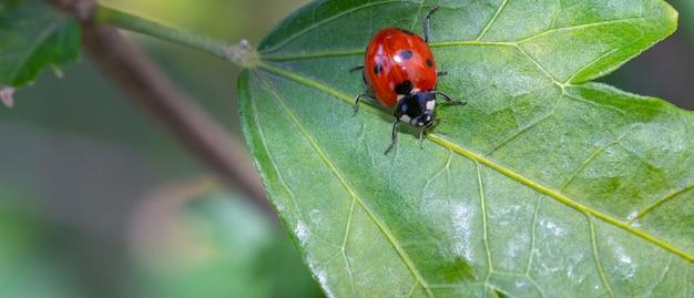 Coccinellidae на зеленом листе растения