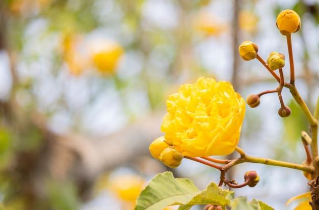 Cochlospermum regium yellow flower and branch on tree