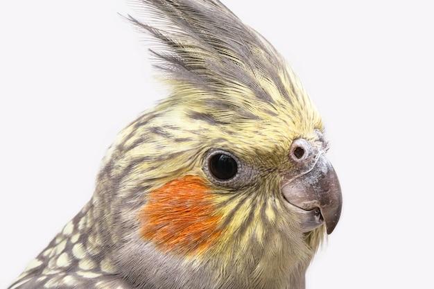 Корелла птица, голова на крупном плане домашней птицы