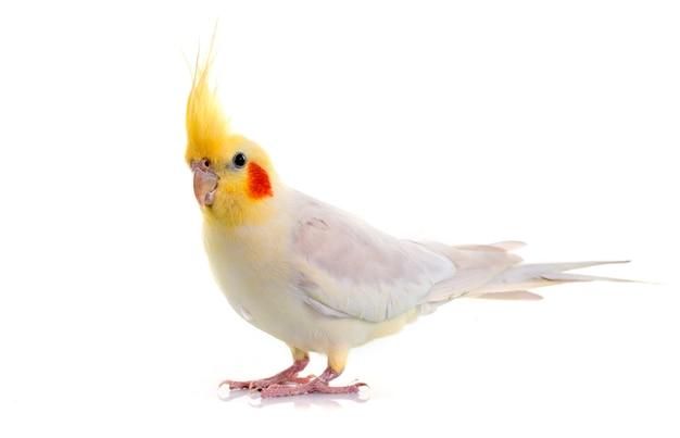 Cockatiel bird