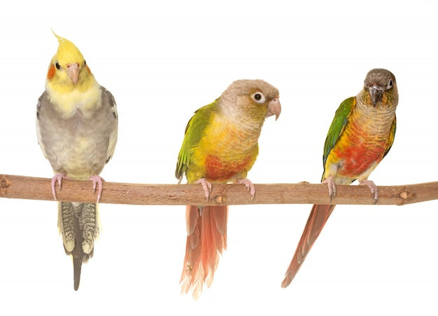 Cockatiel and green-cheeked parakeet
