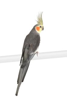 Cockatiel, nymphicus hollandicus, изолированный