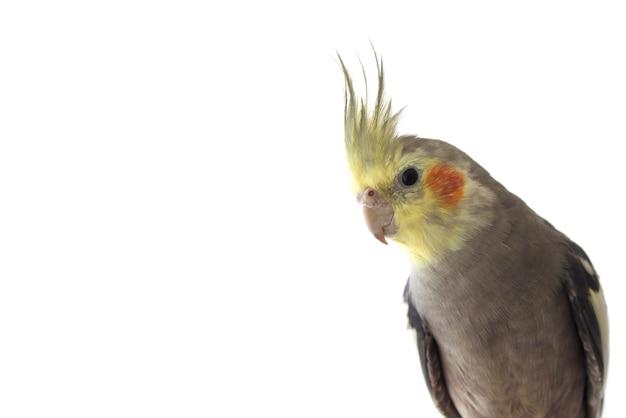 Попугай корелла на белом изолированном фоне крупным планом