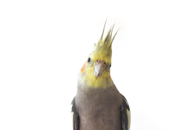 Cockatiel parrot on white isolated background close up