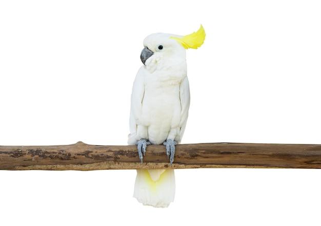 Какаду птица сидела ветке дерева изолировать белый фон обтравочный контур