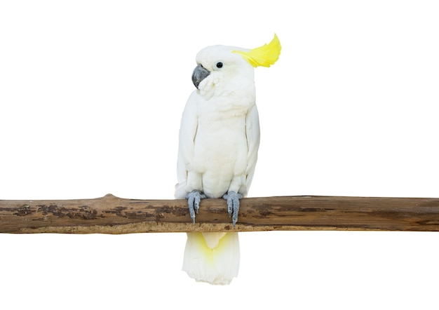 Cockatoo鳥のとまった木の枝は白い背景のクリッピングパスを分離
