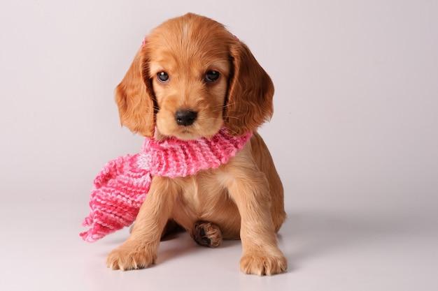 スカーフとコッカースパニエルの子犬