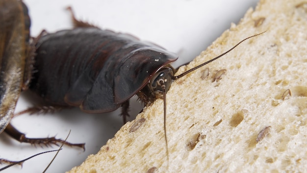 Cockroach eating bread on white background.