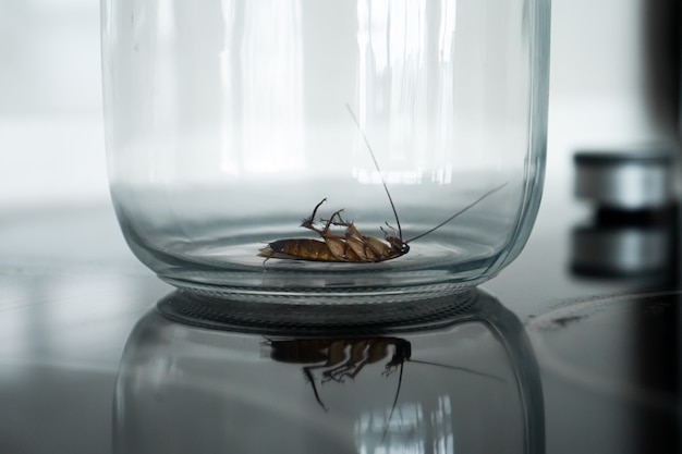 Cockroach in a glass jar in the kitchen