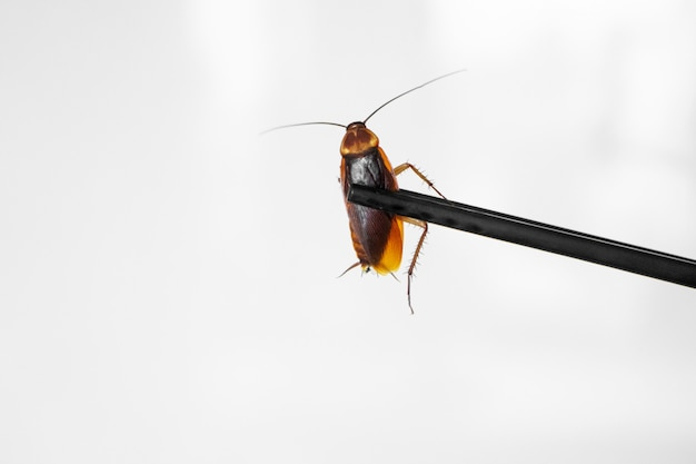 Таракан держит палочки для еды