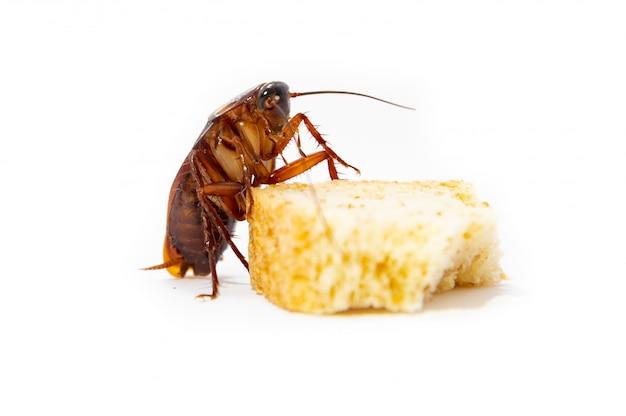 Таракан - это распространение инфекции, таракан ест хлеб Premium Фотографии