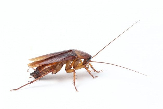 The cockroach isolated on the white