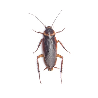 Cockroach isolated white