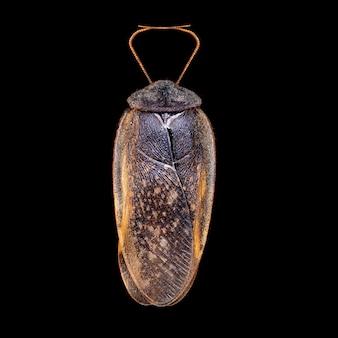 고립 된 검은 배경에 총 바퀴벌레 매크로