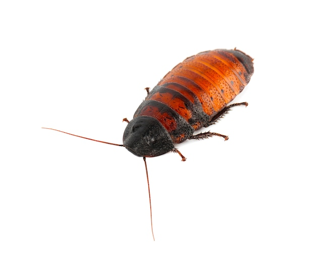 Шипение таракана на мадагаскаре изолированное на белизне