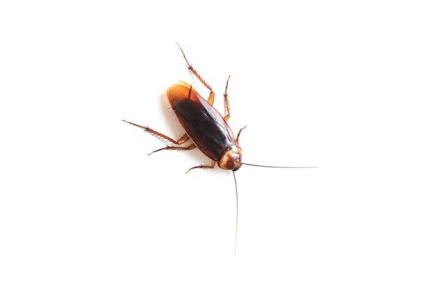 Таракан на изолированном белом фоне, мертвые тараканы на белом