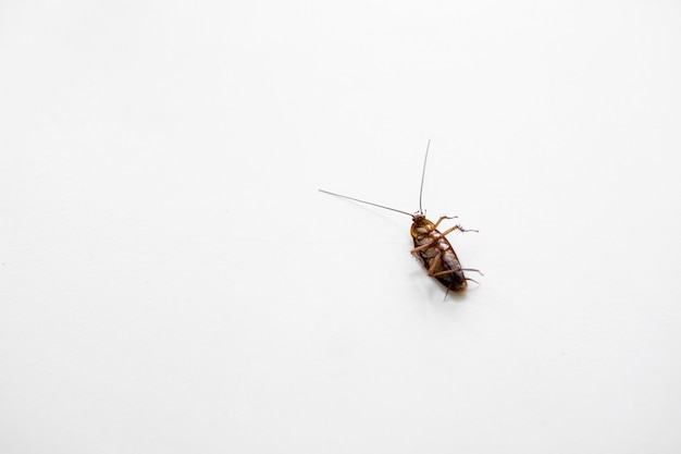 Cockroach on a white kitchen table.