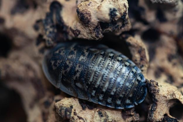 긴 수염이나 딱정벌레 곤충 곤충 클로즈업을 가진 바퀴벌레. 눈이 있는 그리그의 머리. 매크로.