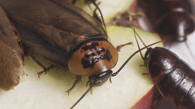 바퀴벌레가 음식을 먹고 있습니다. 곤충은 세균을 운반합니다. 더러운 곤충. 확대
