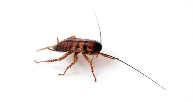 Тараканы на белом фоне Premium Фотографии