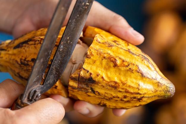 Какао-бобы и стручки какао