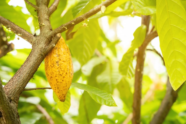 Cocoa fruit on the tree with sunlight