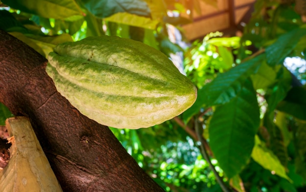 Cocoa fruit on the tree