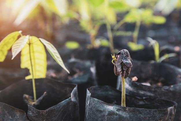 カカオの苗木とカカオの木が農場で新しく成長しています
