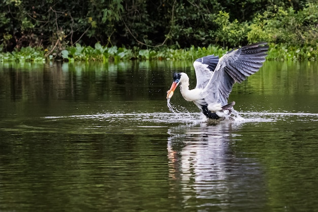 Cocoi heron catches fish in the water.