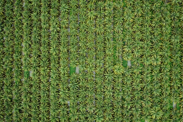 Coconut agricultural fields plantation green color in a row and water aerial top view photograph from drone