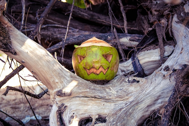 Coconut carved like a pumpkin for halloween like a jack o lantern stands in the roots of a tree