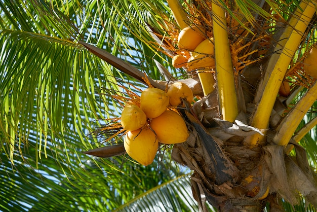 Coconut fruits in palm tree of riviera maya