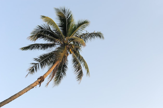 Coconut green palm tree on blue sky background