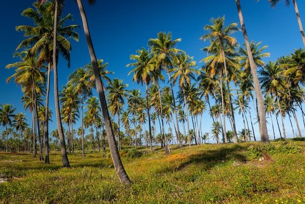 Кокосовая роща на пляже форте недалеко от сальвадора баия бразилия тропический пейзаж