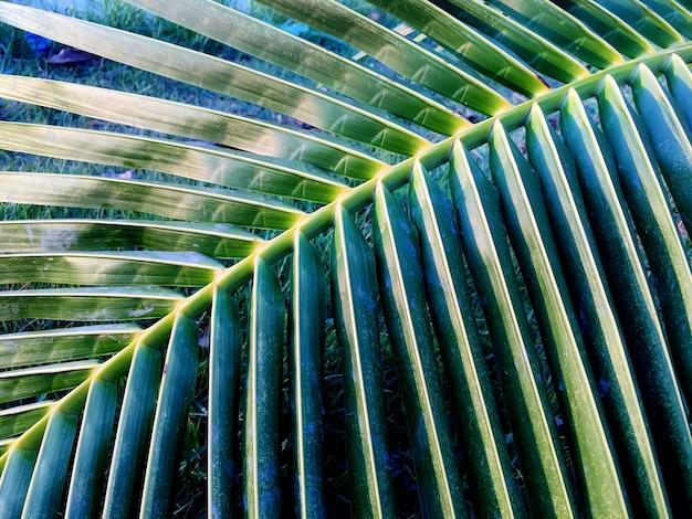 Coconut leaf close up