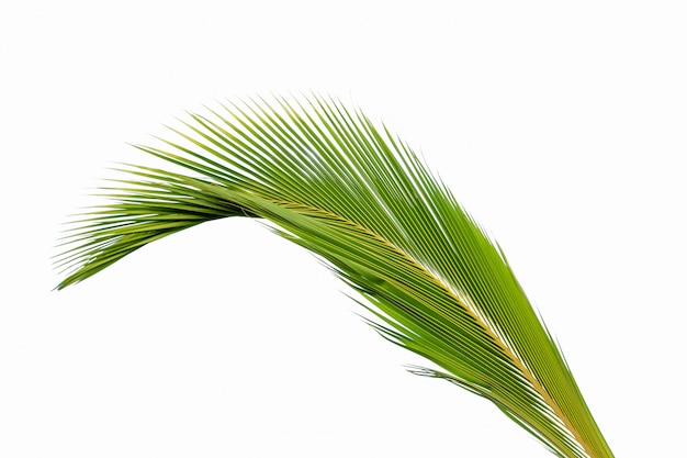 Coconut leaf isolated