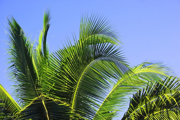Coconut leaves on the sky.