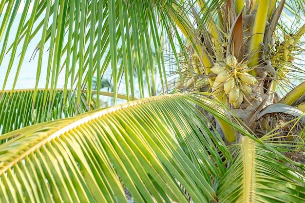Кокосовая пальма или верхушка дерева cocos nucifera с зелеными кокосами, солнце. фото высокого качества