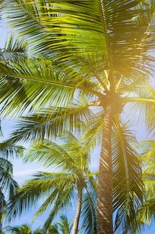ココヤシの木の背景