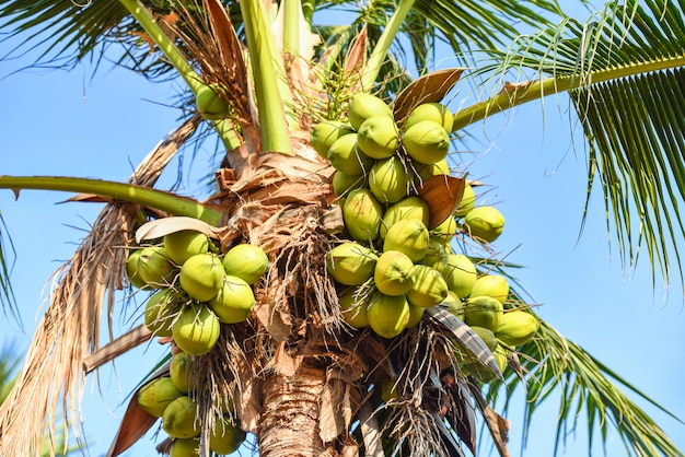 Coconut palm tree and coconut fruit in the tropical garden with blue sky